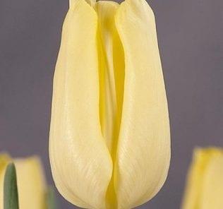 Тюльпан Виола Холт