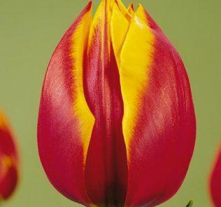 Тюльпан Зеландия
