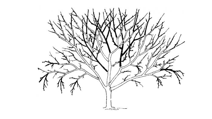 Обычно это приходится делать с деревьями старше 25-30 лет, сохранившими крепкие скелетные ветки и неповрежденный ствол.