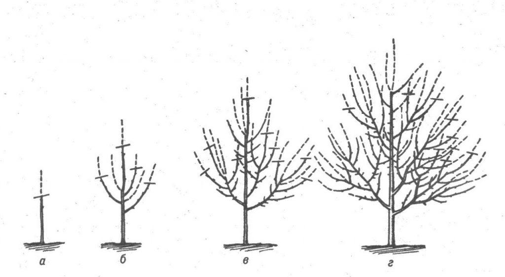 Ярусно-разряженная обрезка яблони: считается самым простым методом обрезки, имеющим массу плюсов. Силуэт дерева остается естественным, побеги принимают ярусную форму. Однако подобное формирование возможно, если расстояние между яблонями превышает 3 метра.