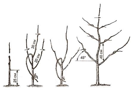 Вертикальная пальметта: если деревья растут возле ограды, то этот способ станет оптимальным. Создание такой кроны занимает около 4-х лет. Скелетные отростки должны формировать плоскую «шапку» и расположиться на одной плоскости. На каждом уровне, у проводника оставляйте по 2 побега. Важно соблюдать расстояние между ярусами в 80 см. Придавайте новым ветвям наклонное положение.