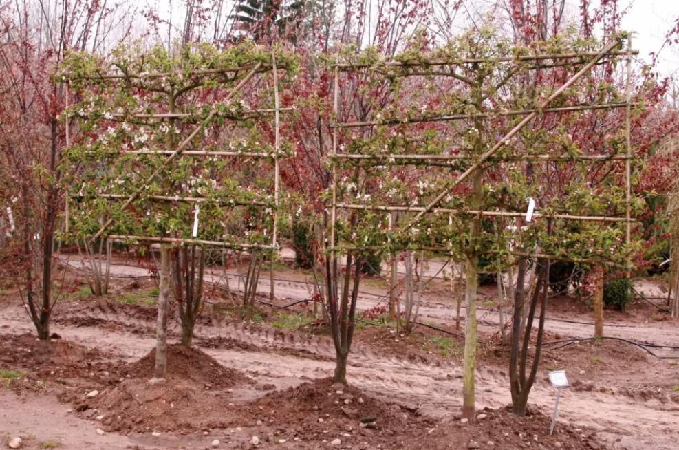 Обрезка яблонь для шпалеры. Этот метод пока еще не получил большой популярности, хотя обрабатывать деревья сформированные на шпалеры (натянутая рядами проволока, сетка и т.д.) намного удобнее, как и собирать урожай.