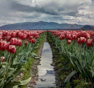 Как сажать тюльпаны осенью?