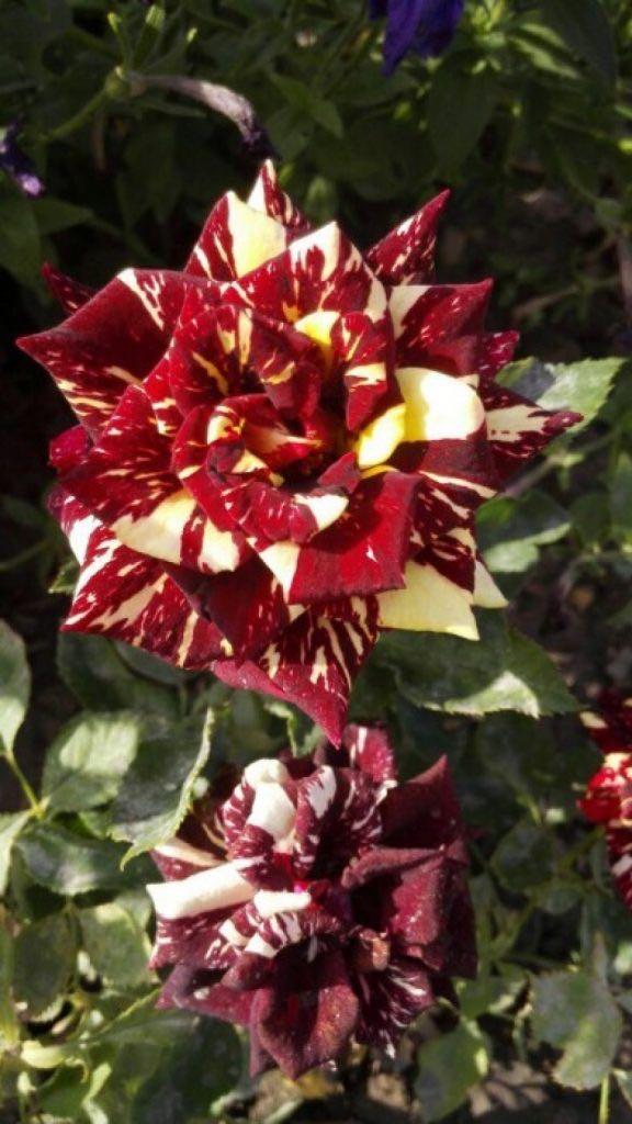 более, живо абракадабра роза фото куста время пребывания царя