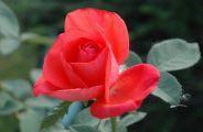 Роза Адванс