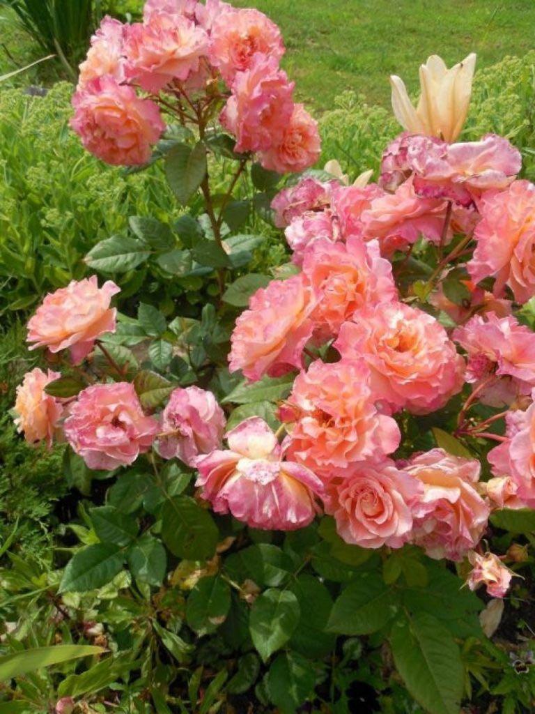 роза августа луиза фото и описание отзывы нужна белая или