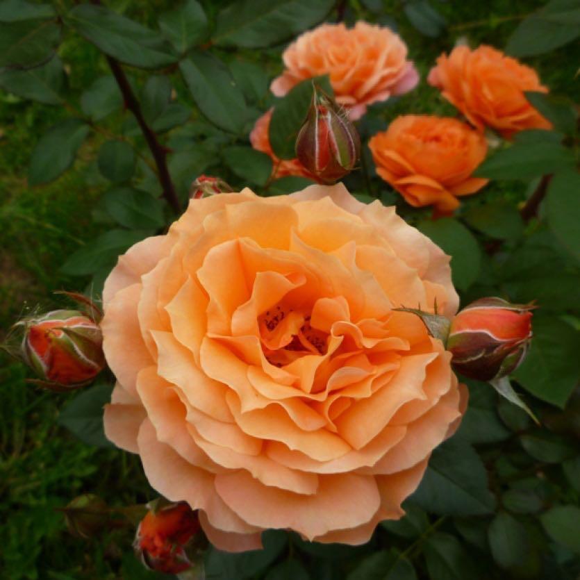 розы шрабы что это с фото также