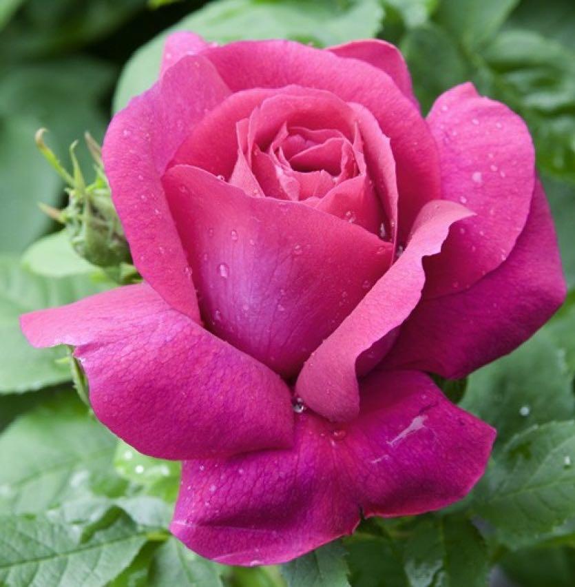 знает новые сорта роз фото латуни всегда