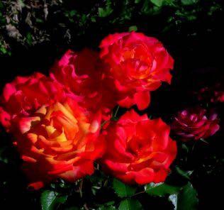 Роза Шато Гискурс