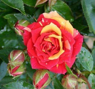 Роза Чили Клементин