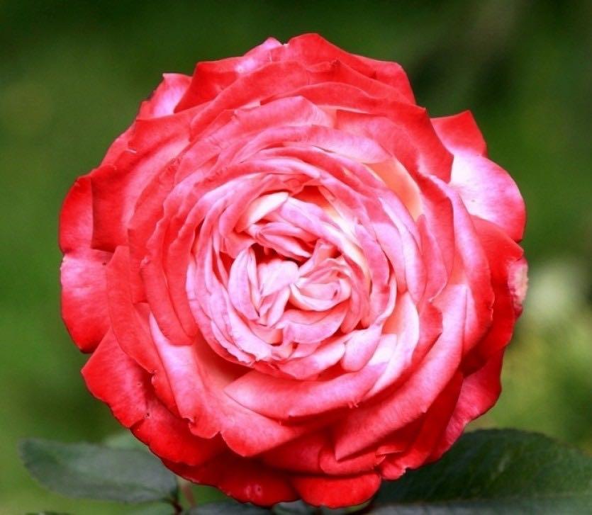 розы фото с описанием