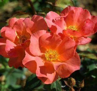 Роза Эдит Холден