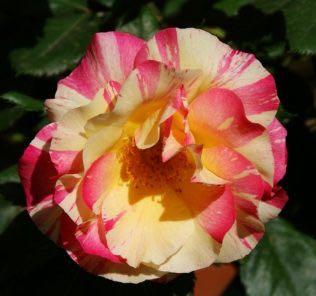 Роза Эмиль Дебруа