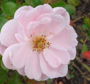 Роза Эстима