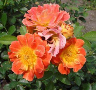 Роза Эйфория