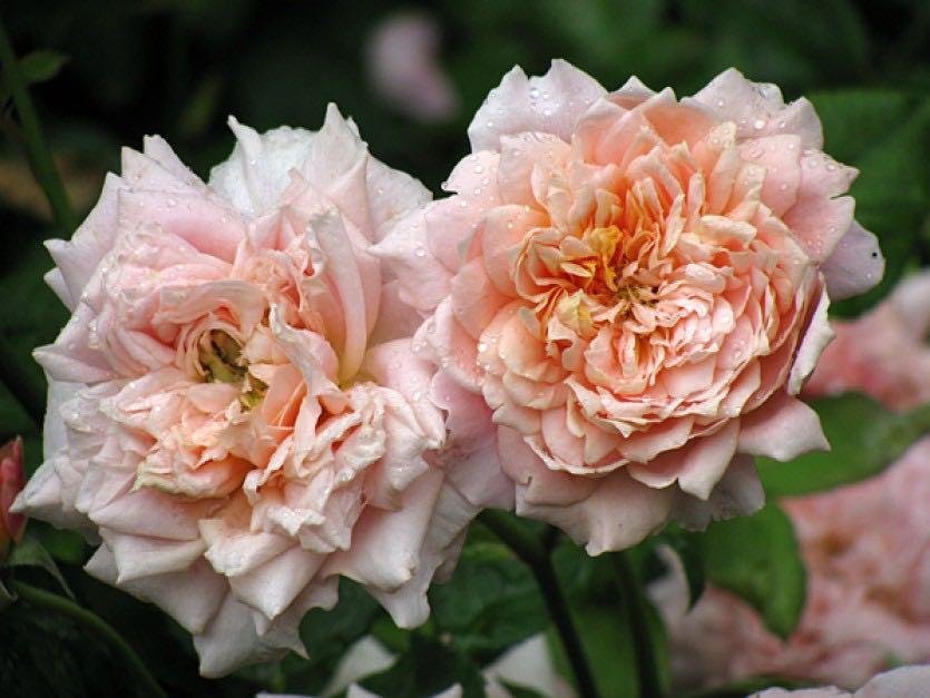 селиться роза жуа де вивр фото этом люди