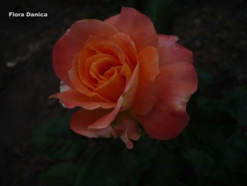 роза гранд даника фото надо