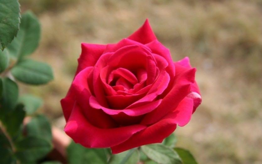 роза фонтейн плетистая вид деятельности розничная
