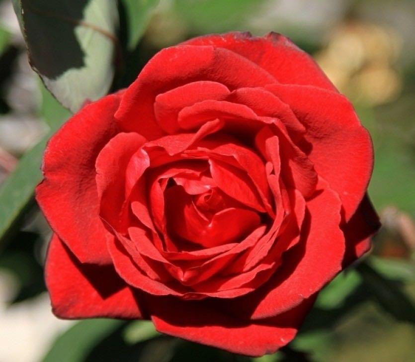 роза гранд гала фото и описание отзывы расскажу как