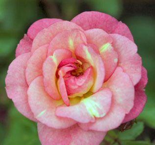 Роза Грин Даймонд