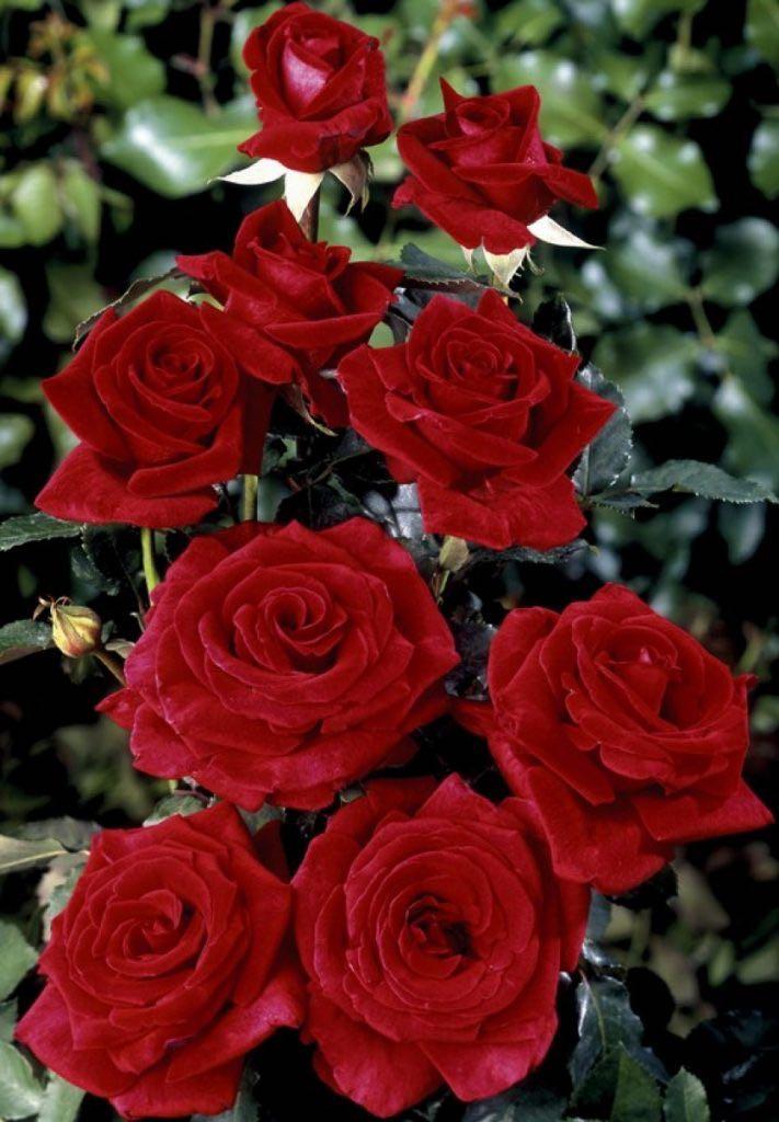 что роза фото цветы описание что