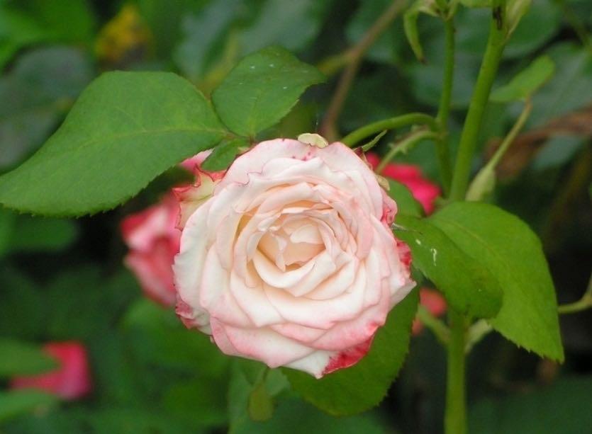 розы корнесобственные цветущие фото описание бесплатно