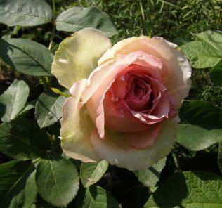 Роза Джим