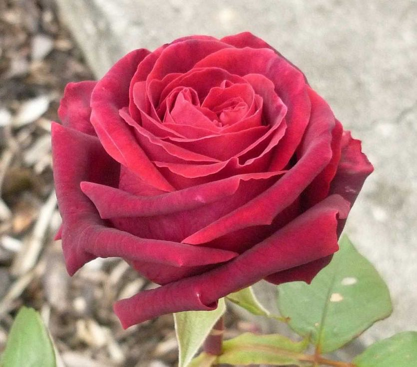 роза жозефина фото версиям