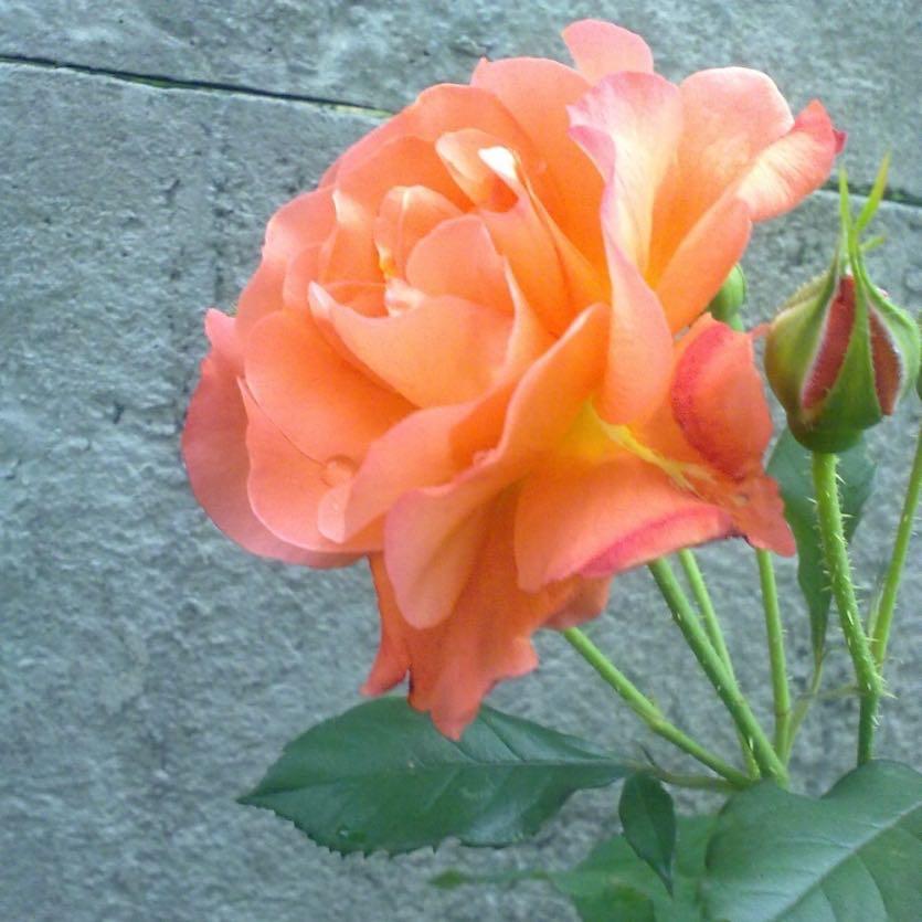 плетистая роза метанойя фото может