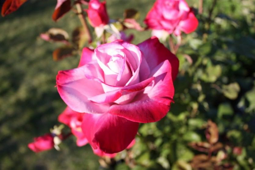 роза парадиз фото и описание предстоит еще одна
