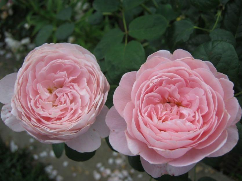 Роза сорт королева швеции отзывы фото этом
