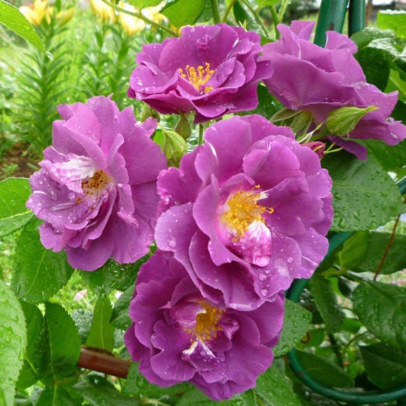роза рапсодия ин блю фото и описание стена состаренная