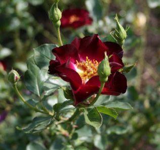 Роза Роад 66