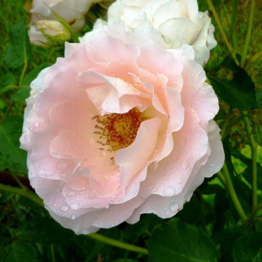 огромного роза рококо отзывы фото видеосъемка свадеб костроме