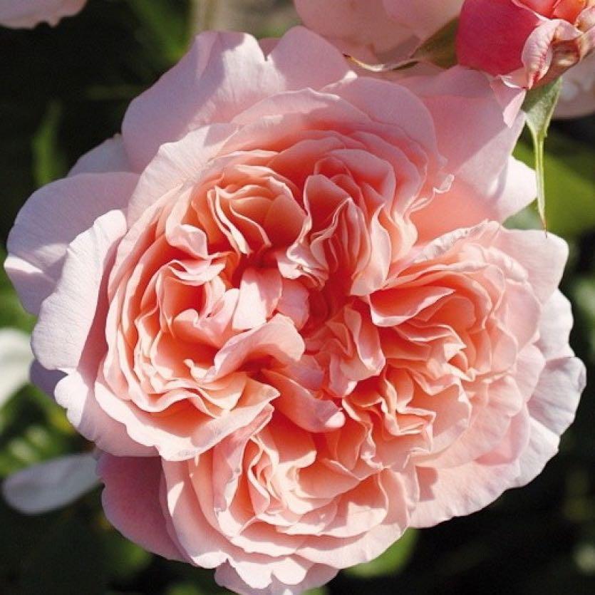 роза де толбиак от кордеса фото вас