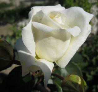 Роза Шнивальцер