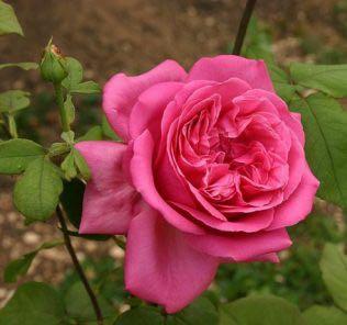 Роза Сентеур Рояле