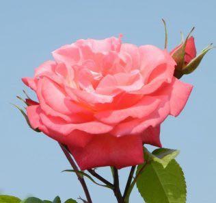Роза Шоган