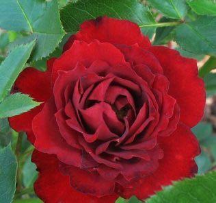 Роза Цвергкониг 78