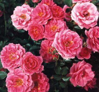 Роза Цвергконигин 82